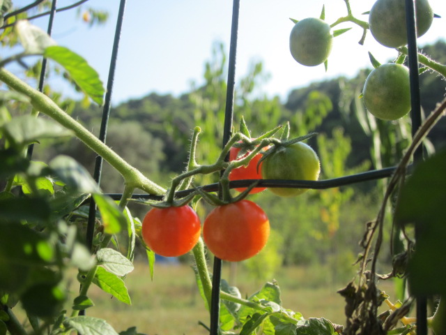 The most perfect looking tomatoes...so tempted to pick one but didn't want to get kicked off the island