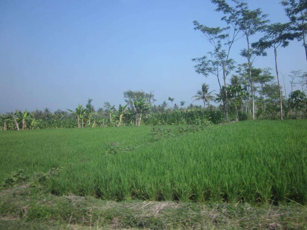 Rice Paddies En Route to Yogyakarta