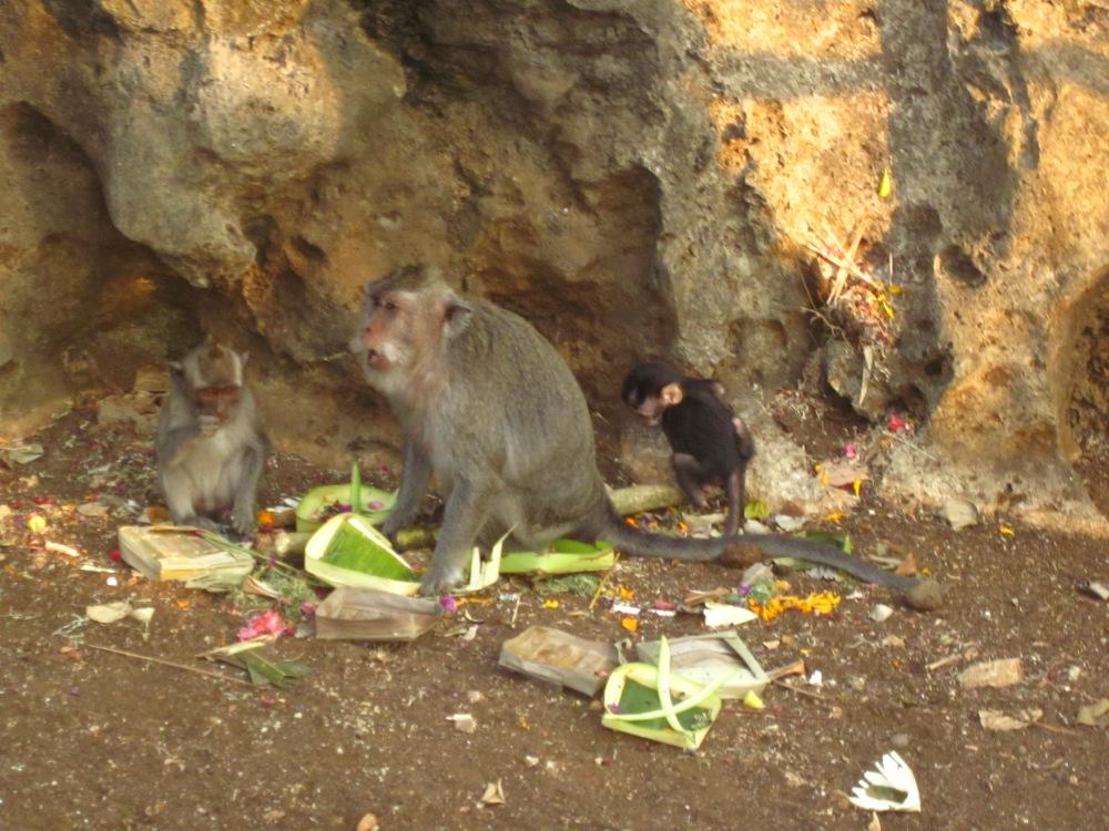 Monkeys in Ulu Watu