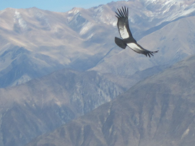 Andean condor sightings at the Cruz del Condor viewpoint