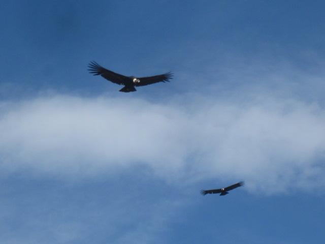 More condors