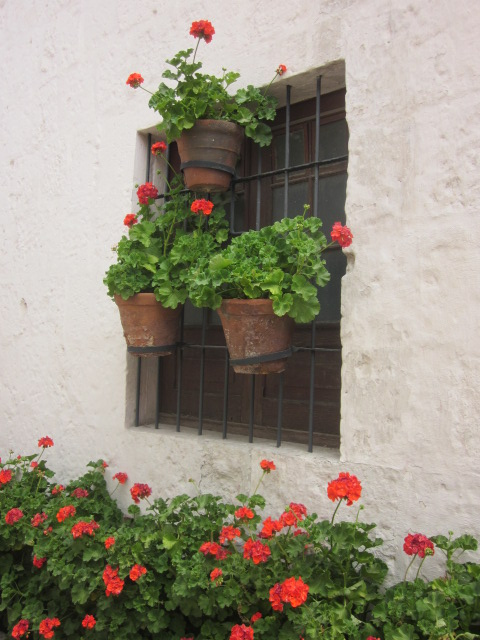 Geraniums hanging in the window