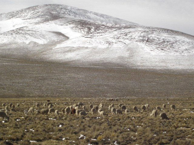 Ecological reserve with llamas, alpacas, and vicunas openly grazing