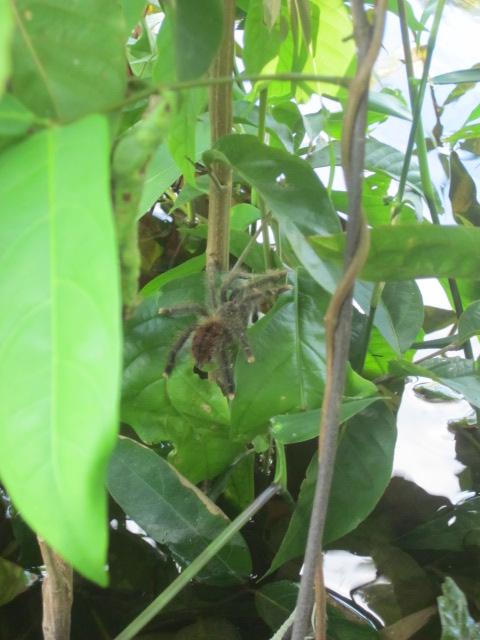 Eep!  Baby tarantula!