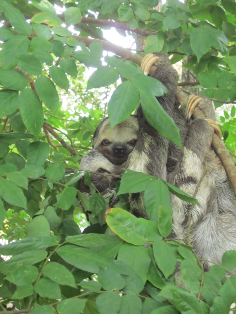 Mama and baby sloth hanging in a lower hanging tree