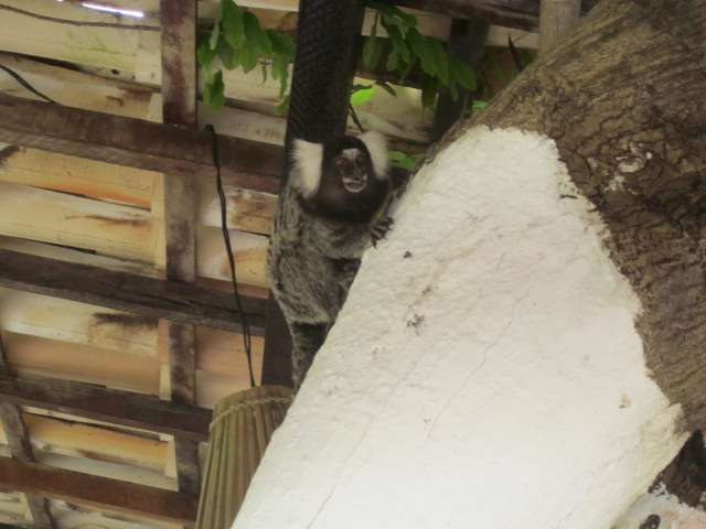 Scary monkey friend joining us at breakfast
